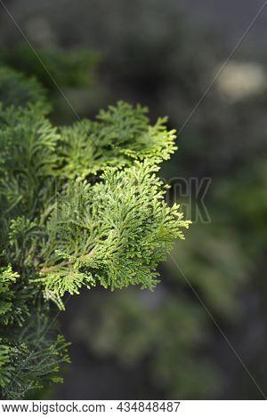 Graceful Hinoki Cypress - Latin Name - Chamaecyparis Obtusa Gracils