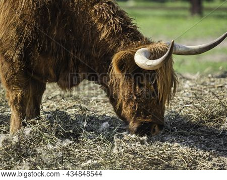 Highland, Scottish Breed Of Rustic Cattle. Furry Cow Eats Hay In Paddock. Farm Animal Grazes Outdoor