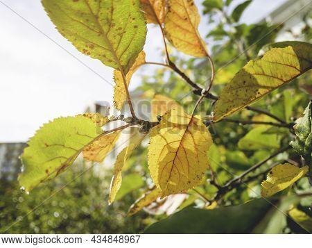 Sun Shines Through Colorful Apple Tree Foliage. Fall Season At Fruit Garden. Yellow And Orange Leave