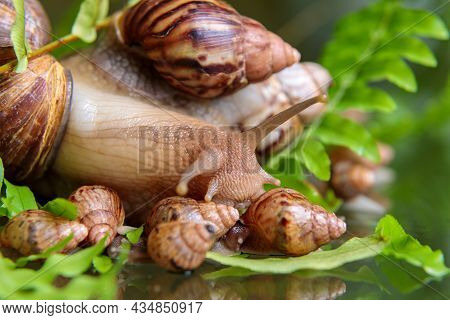 A Large White Snail With Small Snails Is Crawling Along The Branches Of The Plant.