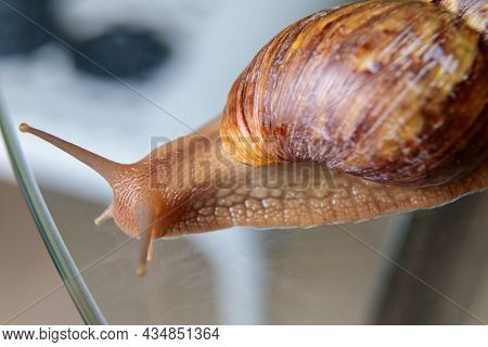 A Large Snail Crawls Across The Glass Table, Wiggling Its Antennae.