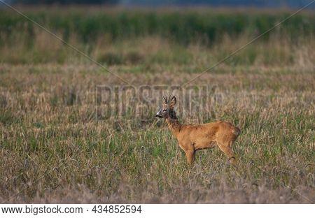 Roe Deer(capreolus Capreolus) Male Looking Forward In Autumn Field, Podlaskie Voivodeship, Poland, E