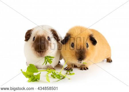 Lunch Time. Two Lovely Guinea Pigs Eating Juicy Greens Isolated On A White Background