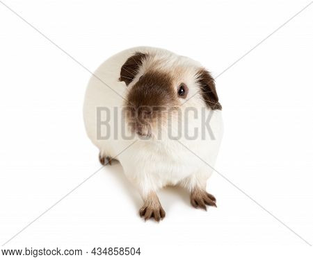 Lovely Guinea Pig, One Year Old, Lying Against White Background