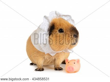 Amusing Red-haired Guinea Pig In A Sleeping Cap With A Little Toy Pig Isolated On A White Background