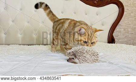 Cat Looking At African Pygmy Hedgehog On White Bed In Room, Pet Friendship