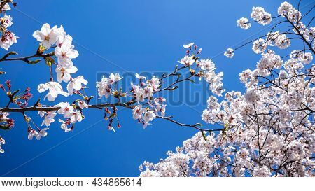 Beautiful Branches Of Blossoming Sakura Trees With Blues Sky Background At Kyoto