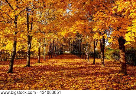 Alley Of Maple Trees In Autumn In Alexander Park, Tsarskoe Selo (pushkin), Saint Petersburg, Russia