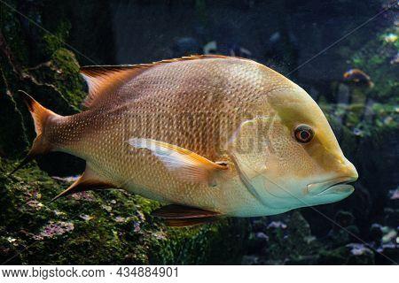 Snapper Fish Swims On The Bottom On Aquarium