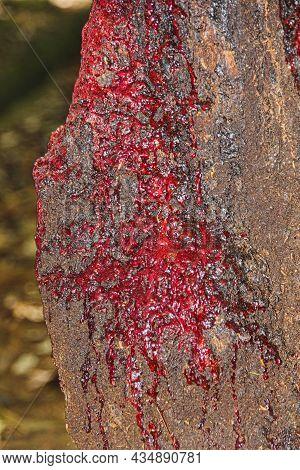 Bloodwood Tree, Pterocarpus Angolensis Or Kiaat Or Mukwa Is Wild Teak Tree Of South Africa. Fragment