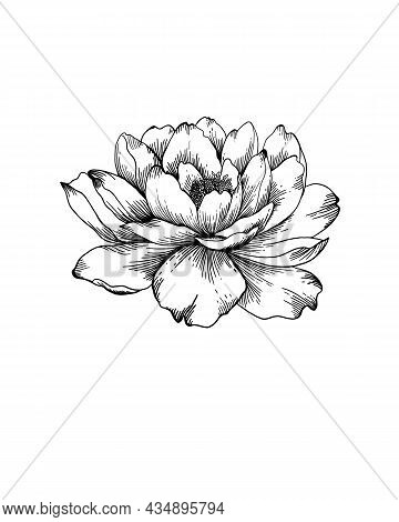 Wildflower Peony Flower In A Style Isolated. Full Name Of The Plant: Peony. Wildflower For Backgroun