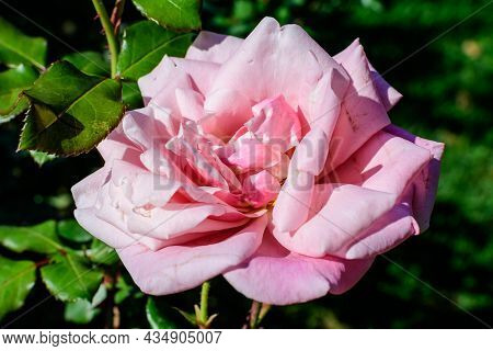 One Large And Delicate Vivid Pink Rose In Full Bloom In A Summer Garden, In Direct Sunlight, With Bl