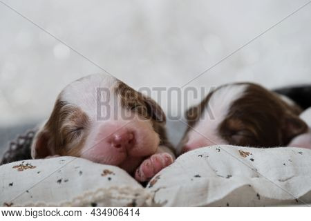 Aussie Puppies Lie And Sleep On White Pillows Covered With Warm Gray Knitted Blanket. Newborn Austra