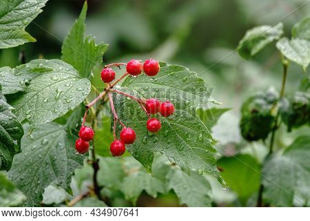 Drops Of Water On Red Berries Of Viburnum After Rain. Autumn Branch Viburnum During The Rain, Fallin