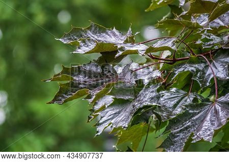 Acer Platanoides, The Norway Maple, Fresh Wet Maple Leaves With Rain Drops In Summer Park Or Forest.