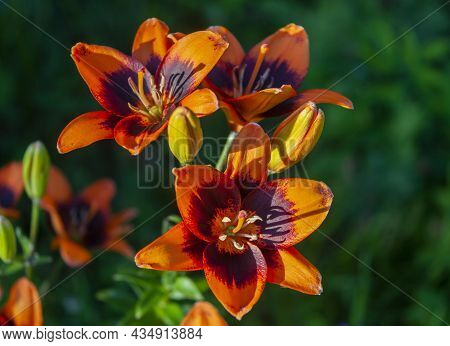 Beautiful Scarlet Lilies With Blooming Flowers And Buds In The Summer Garden. Flowers, Petals, Stame
