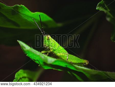 Green Grasshopper On The Green Leaf In The Nature,animal Close Up Macro Concept
