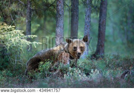 Close Up Of Eurasian Brown Bear (ursus Arctos Arctos) In A Misty Forest In Finland. Eurasian Mammals