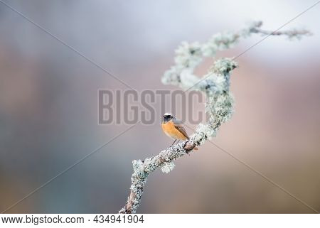 Common Redstart Perched On A Tree Branch Against Colorful Background In Summer, Uk.