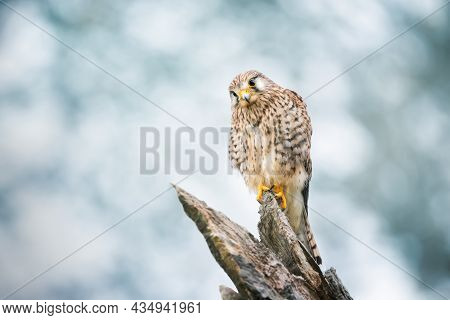 Close Up Of A Common Kestrel Perched On A Tree Trunk, England.