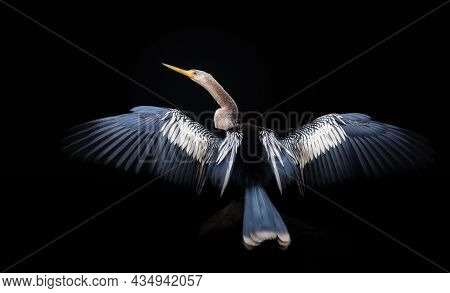 Close Up Of Anhinga Perched On A Tree With Wingsand Tail Spread To Dry, Pantanal, Brazil.