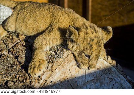 A Small Lion Cub