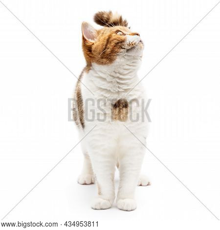 Beautiful Cat Walk And Looking In Empty Space Isolated On White Background. Happy And Cute Cat Looki