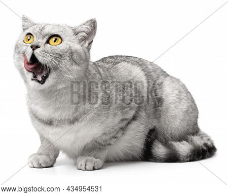 Hungry Cat Isolated On White. Cat Tongue Licking Lips And Mouth
