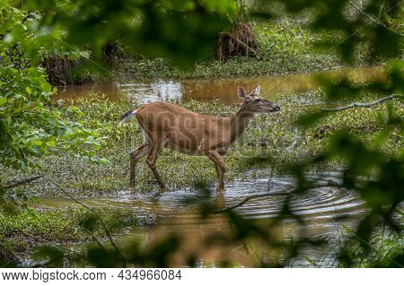 A Doe Walking In The Shallow Water Carefully Crossing Over To The Shore In The Wetlands On A Hot Sun