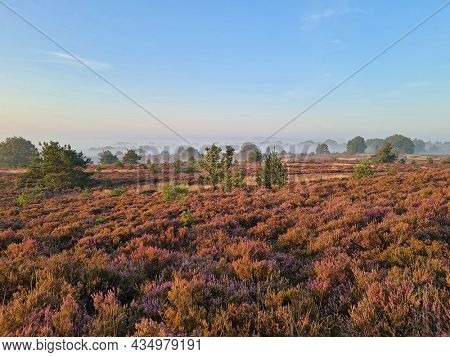Blossoming heather on the Hoge Veluwe in the Netherlands