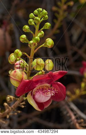 Blooming Sala flower or Cannonball flower, this flower's scientific name is couroupita guianensis flower of religion and is grown in the tropics