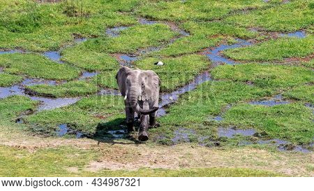 African elephant, Loxodonta africana, emerges from the marshlands of Amboseli National Park, Kenya. A sacred ibis, Threskiornis aethiopicus, can be seen on the grass behind.