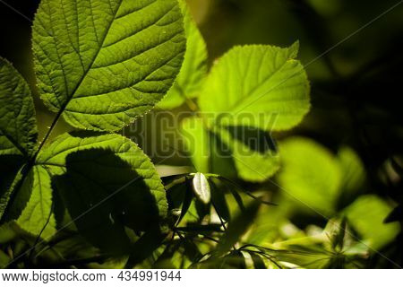 Sun Light Passing Through Green Leaves Close Up | Lush Green Leaves In A Row Illuminated By A Bright