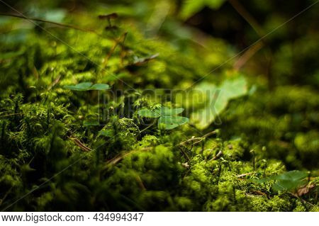 Clover Growing In The Moss On The Forest Floor Close Up | Ground Level Photo Of Clovers In The Thick