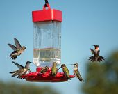 Multiple Hummingbirds at feeder, some eating nectar, some hovering waiting their turn poster