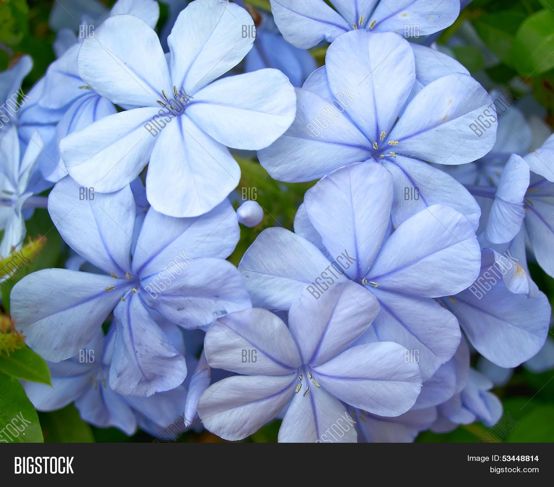 Light blue jasmine image photo free trial bigstock light blue jasmine flowers bunch izmirmasajfo