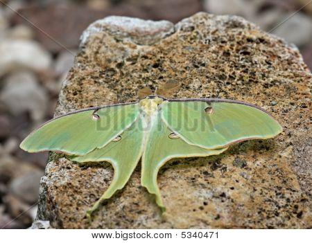 Luna Moth (actias Luna)