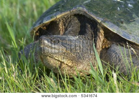 Snapping Turtle In Grass