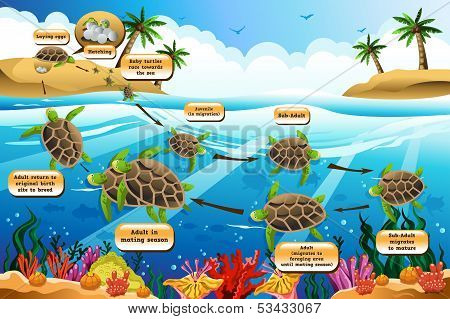 A vector illustration of life cycle of the sea turtle poster