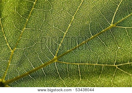 Grape Leaf Texture