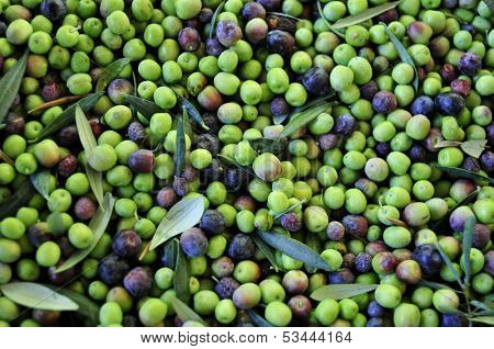 a pile of arbequina olives after harvesting poster