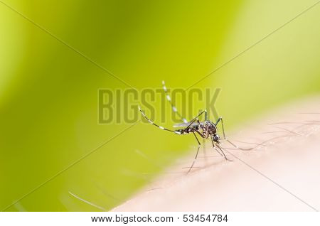 Mosquito In Nature