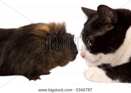 Cavy And Cat