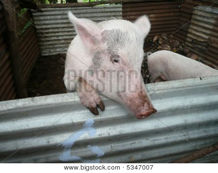 Did This Pig Have Anything To Do With The Swine Flu