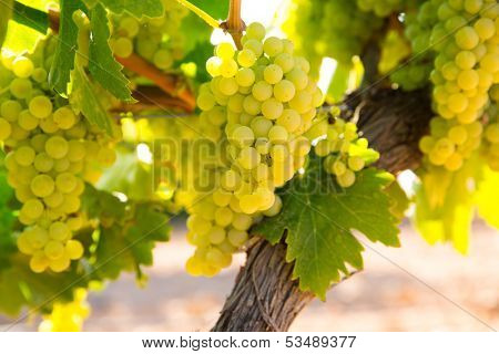 chardonnay Wine grapes in vineyard raw ready for harvest in Mediterranean poster