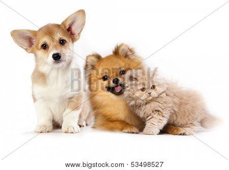 Pembroke Welsh Corgi puppy, kitten persian and pomeranian spitz