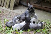 Gray Cat Mom Finishes Nursing her Kittens in the Yard poster