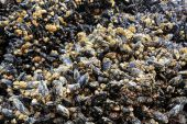 Masses of mussels on a rock exposed during low tide poster