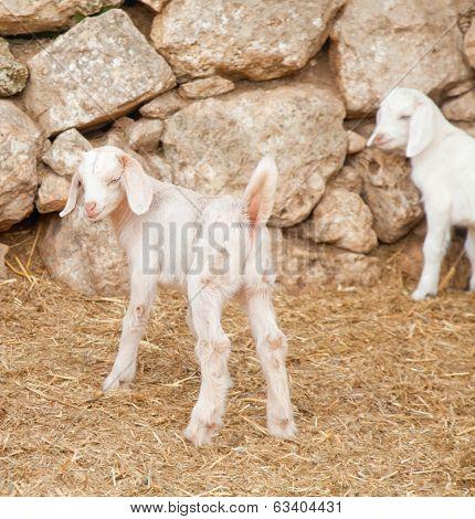 Cute White Goatling