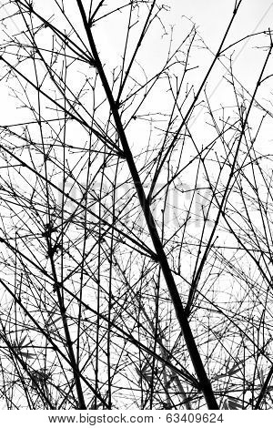 Bamboo In Silhouette